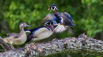 wood ducks congregating near a river