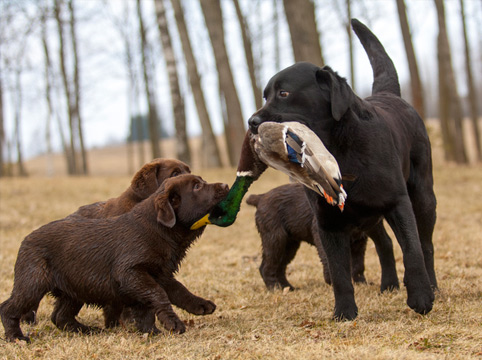 dog teaching puppies to fetch downed ducks